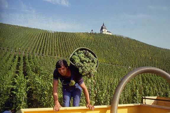 Wijnton be de onafhankelijk regionale fruitige wijnsite - Wijnoogst ...
